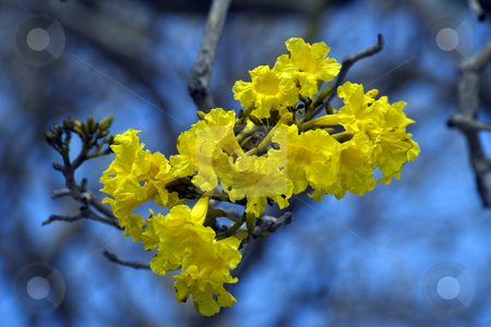Yellow Flowering Tree stock photo, A group of yellow flowers with a soft blue background by Steve Carroll