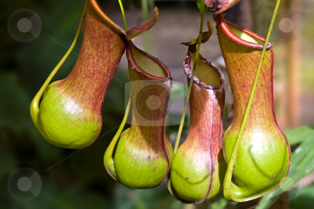 Nepenthes Burkei - Carnivorous Pitcher Plant stock photo, Nepenthes burkei is a lowland tropical pitcher plant native to the Philippines. The nectar-producing  by Steve Carroll