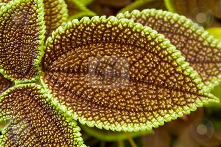 Coleus Leaf stock photo, Close of varigated Coleus leaf texture by Steve Carroll