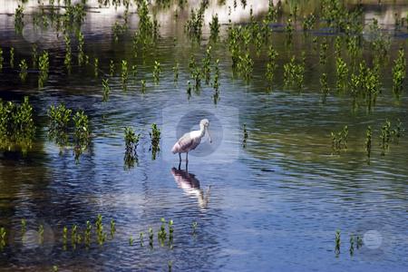 Spoonbill crane stock photo, Florida Spoonbill Crane by Steve Carroll