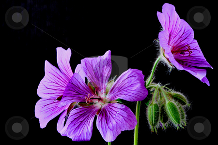 Garden geranium (Ger. ? magnificum)   stock photo, Geranium veins blossom bloom petal green purple blue garden plant stamp stem green leaf by Manuela Schueler