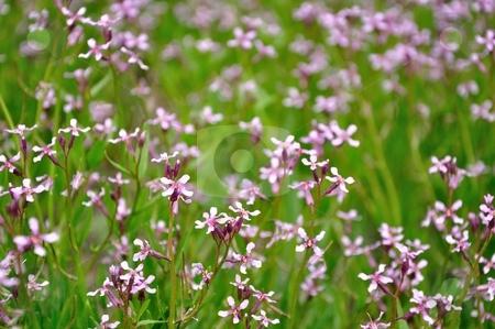 Little Purple Wildflowers stock photo, Purple wildflowers fill a green field. by Ben O'Neal
