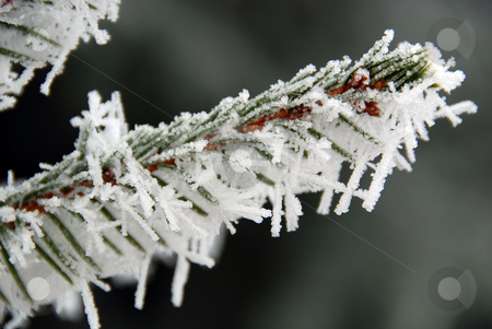 Frost covered pine needles stock photo, Frost covered pine needles by Gjermund Alsos