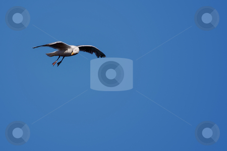 White bird on blue sky stock photo, White bird on blue sky.With copy space by Gjermund Alsos