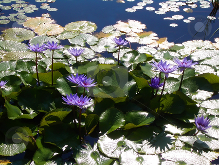 Water lillies stock photo, Purple water lillies floating on pond by Steve Carroll