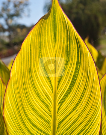 Large backlit variegated leaf. stock photo, Large variegated leaf, backlit by afternoon sun, at Palma Sola Botanical Gardens in Bradenton, Florida by Steve Carroll