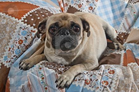 Portrait of Female Pug Dog stock photo, Portrait of 1 year old female Pug dog by Steve Carroll