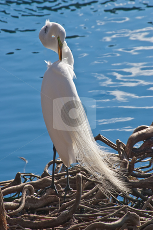 Snowy Egret stock photo, Snowy Egret grooming itself on the shore of Lake Eola in Orlando, Florida by Steve Carroll