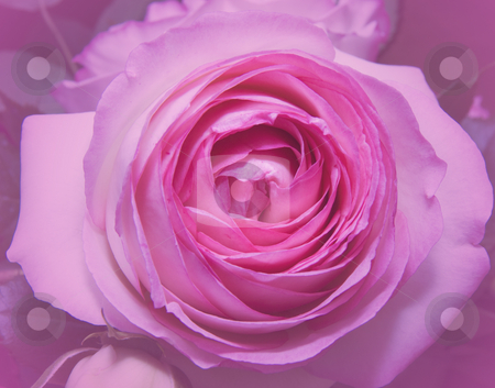 Pink Rose stock photo,  by Fabio Alcini