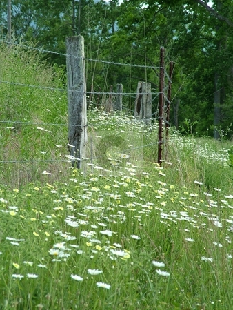 Daisies and Cinquefoils stock photo, Wild daisies and cinquefoils decorate the fencing along a country road, with their flaunting presentation of yellow suns with white rays and intense yellow bursts. by Krystal McCammon