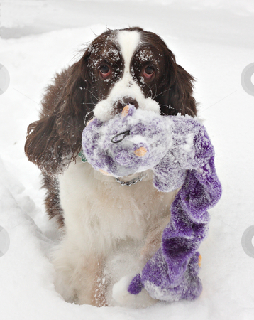 Happy Dog stock photo, English Springer Spaniel playing in the snow by Colleen Blouin