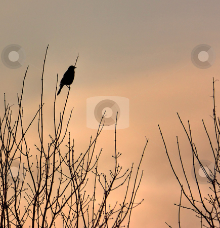 Sunrise silhouette stock photo, Sunrise silhouette with red winged blackbird. by Colleen Blouin