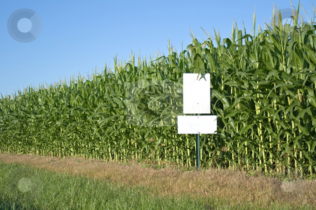 Cornfield with blue sky and white sign stock photo, Corn field with blue sky and white sign by Dennis Crumrin
