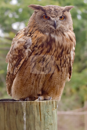 Eurasian Eagle Owl stock photo, Close-crop of a Eurasian Eagle Owl by Thomas Marchessault