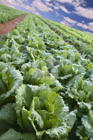 Lettuce field stock photo, Iceberg lettuce field in the Sharon region, Israel by Noam Armonn
