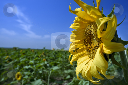 Sunflower and bee stock photo, Bee hovering in front of a sunflower by Noam Armonn