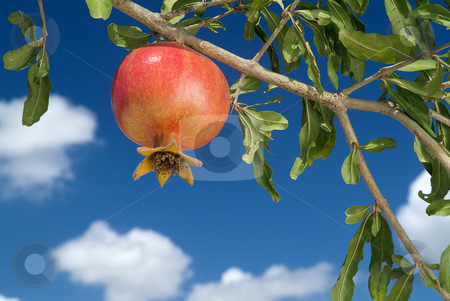 Pomegranate on branch stock photo, Pomegranate on branch by Noam Armonn