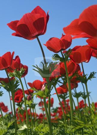 Red flower field stock photo, Poppy Anemone in the field from bellow by Noam Armonn