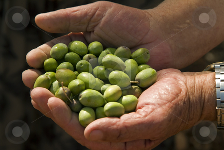 Olives in old man's hand stock photo, Olives in old man's hand by Noam Armonn
