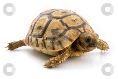 Baby turtle   stock photo, Baby turtle isolated on white by Noam Armonn