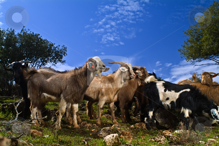 Goats in the pasture stock photo, A group of young goats in the pasture by Noam Armonn