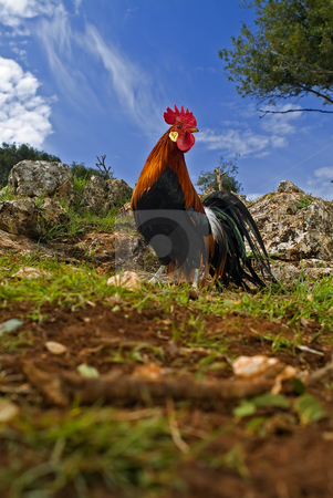 Free range rooster in a field stock photo, Free range rooster in a field with blue sky by Noam Armonn