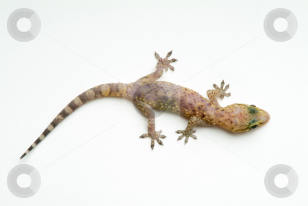 Gecko stock photo, Gecko Isolated On White by Noam Armonn