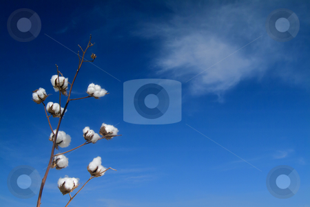 Cotton branch  stock photo, Ripe cotton bolls on branch against blue sky with cirrus cloud by Noam Armonn