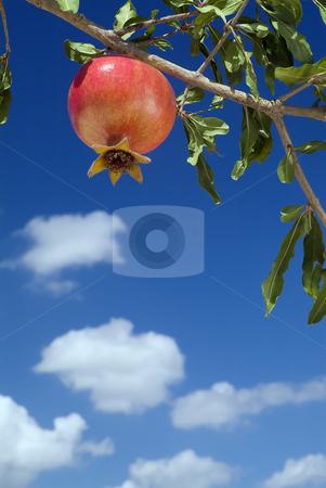 Pomegranate on branch stock photo, Pomegranate on branch by Noam Armonn
