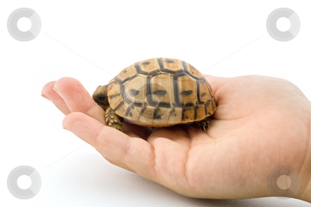 Baby turtle in a child hand stock photo, Baby turtle baby turtle in a child hand isolated on white by Noam Armonn
