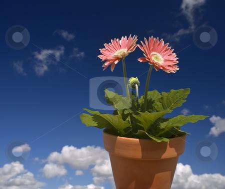 Pink Gerbera blue sky stock photo, Gerbera plant in a