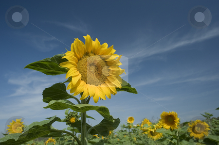 Sunflowers field stock photo, Beautiful sunflower in a field and cloudy blue sky by Noam Armonn