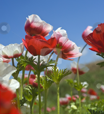 White and red flower field stock photo, White and red Poppy Anemone in the field by Noam Armonn