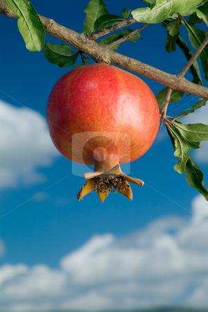 Pomegranate on branch stock photo, Pomegranate on branch against cloudy blue sky by Noam Armonn