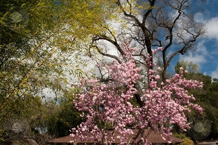 Magnolia stock photo, Magnolia is a large genus of about 210 flowering plant species in the subclass Magnolioideae of the family Magnoliaceae. by Mariusz Jurgielewicz