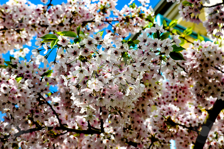 Cherry blossoms stock photo, Cherry blossoms in bloom by Jaime Pharr