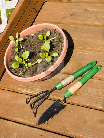 Baby Spinach in Planter stock photo, Baby Spinach in planter with shovel and rake by John Teeter