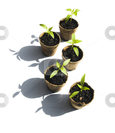 Five Bell Pepper Seedlings stock photo, Five Bell Pepper Seedlings on a white background by John Teeter