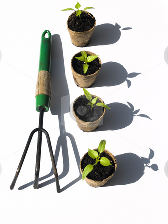 Bell pepper seedlings with rake stock photo, Bell pepper seedlings with rake on white background by John Teeter