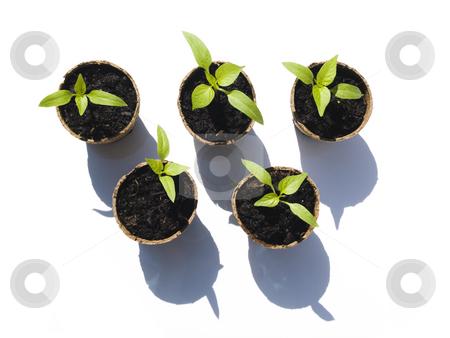 Bell Pepper Seedlings stock photo, Bell Pepper seedling on white background aerial view by John Teeter