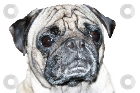 Pug Dog Head Shot stock photo, Head shot of a 4 year old male Pug dog on a white background by Steve Carroll