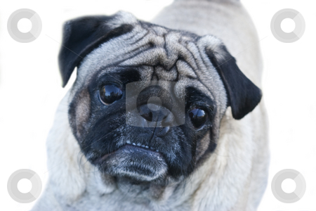 Pug Dog Headshot stock photo, Head shot of 'Dougie' - a 4 year old male Pug dog isolated on white background by Steve Carroll