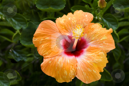 Orange Speckled Hibiscus stock photo, Beautiful orange speckled hibiscus with red throat. by Steve Carroll