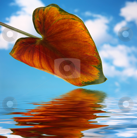 Calla lilly leaf 2 stock photo, Calla lilly leaf with blue sky background and reflected in water by Stacy Barnett