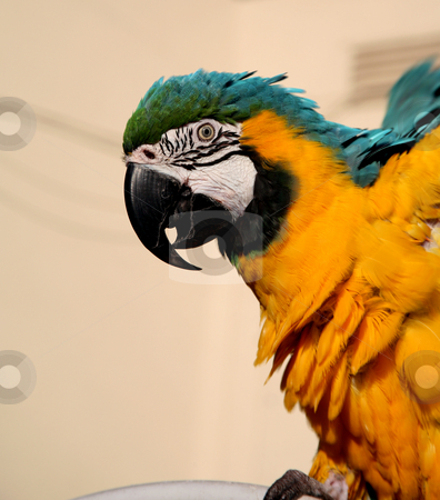 Blue and gold beauty stock photo, Beautiful blue and gold macaw close up by Stacy Barnett