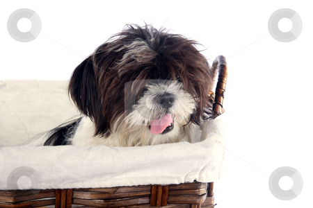 Basket puppy 2 stock photo, Cute lhasa apso puppy isolated in a basket by Stacy Barnett