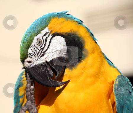Blue and gold macaw scratching stock photo, Blue and gold macaw scratching his beak with his clawed foot by Stacy Barnett