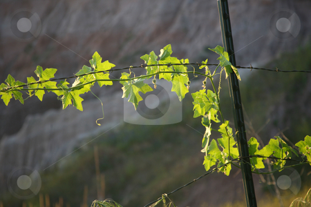 Barbed wire with plant stock photo, Green plant climbing on barbed wire background by Stacy Barnett