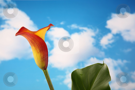 Calla lilly 6 stock photo, Beautiful single orange and yellow calla lilly flower isolated with a cloudy sky background by Stacy Barnett