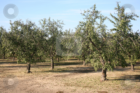 Almond tree stock photo, Large grove of almond trees natural background by Stacy Barnett